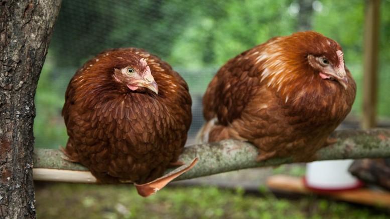 Accessoires indispensables pour les poules